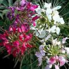 GIANT QUEEN MIX CLEOME/SPIDER FLOWER SEEDS  / PERENNIAL