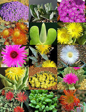 CHEIRIDOPSIS MIX, succulent cactus mixed living stones rocks plant seed 15 SEEDS