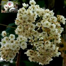 Dombeya Rotundifolia - African Wild Pear - Rare Tropical Bonsai Tree Seeds (5)