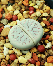 LITHOPS GRACILIDELINEATA, living stones exotic rock ice plant rare seed 50 SEEDS