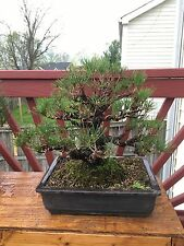 Bonsai Tree Japanese Black Pine