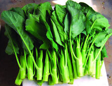 Heirloom KAILAAN Chinese Broccoli Kale KAI LAN❋500 SEEDS❋Asian Greens❋Gai Lan