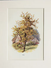 Pear Tree. - Mounted Antique Botanical Print, Colour Lithograph