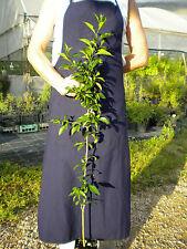 MACLURA POMIFERA Moro degli Osagi monkey ball pianta plant vq 10x10x18