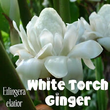 White Torch Ginger Seeds - Thai Flowering Plant - Rare - Aussie Seller