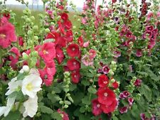 RARE! 11 FT TALL GIANT HOLLYHOCK FLOWER SEEDS MIX 50+