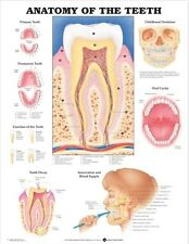 ANATOMY OF THE TEATH MOUTH (LAMINATED) POSTER (66x51cm) ANATOMICAL CHART HUMAN
