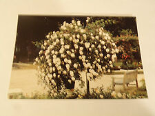 CPSM Roseraie Départementale du Val de Marne à l'Hay les Roses....