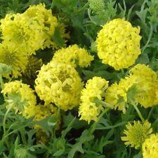 Gaillardia Pulchella- Blanket flower- Sundance Yellow- 50 seeds