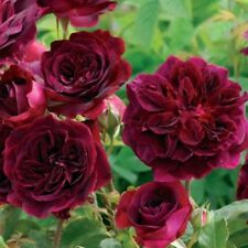 ROSE inglese Munstead Wood ® ausbernard ® PROFUMO ROSE di David Austin, 2007