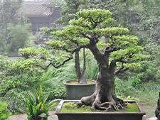 Bo Tree or Sacred Fig (Ficus religiosa) - 100 Seeds Bonsai or feature