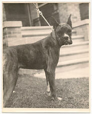 1940's-1950's image of awesome dog-boxer- profile