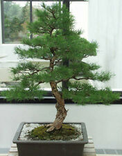 River oak tree / bonsai - Casuarina cunninghamiana 20 seeds