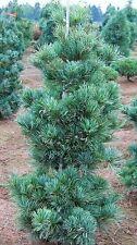 7 JAPANESE WHITE PINE TREES ** 1 FT** EVERGREEN SEEDLINGS LIVE PLANTS BONSAI