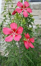200+ SEEDS RED TEXAS STAR HIBISCUS COCCINEUS FLOWER EXOTIC GARDEN PLANT OUTDOOR