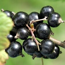 Black currant CONSORT 1 rooted plant 6-8 inches tall, sent with soil
