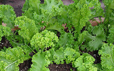 """Southern Giant Mustard *Heirloom* (500 Seed's) """" FREE SHIPPING"""""""