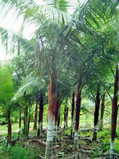 Dypsis lastelliana Red Neck Palm 5 seeds