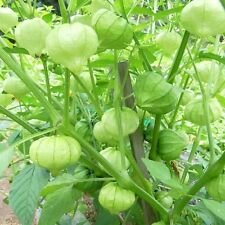 Toma Verde Tomatillo! Perfect for cooking! Combined S/H! SEE OUR STORE!