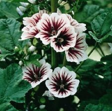 50 Seeds Malva Sylvestris Hollyhock Seeds French Mallow Hollyhock  ( Perennial )