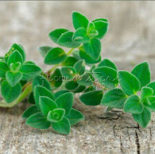 400 Oregano Herb Seeds popular evergreen herb Medicinal Plants Easy Growing DIY