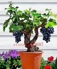 50 graines Raisin Noir plante d'intérieur bonsaï
