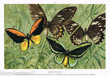Chromo-Lithographie 1893, Vogelfalter Schmetterling butterfly Ornithoptera