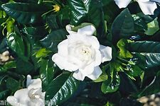 GARDENIA JASMINOIDES 25 SEEDS SUCH SWEET SMELLING BLOOMS WITH SHINY GREEN LEAVES