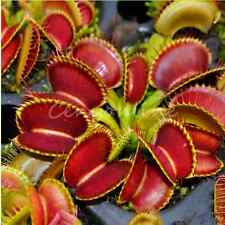 30pcs Carnivorous Venus Fly Trap Dionaea Muscipula Flower Seeds Insectivorous