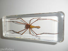Giant Wood Spider (Nephila maculata) Insect Specimen - 110x43x30 mm Paperweight