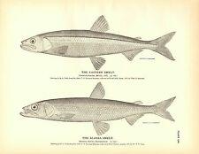 Rare 1884 Antique Fish Print ~ The Smelt Collection ~ Lot of 3 prints