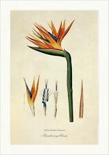 Paradiesvogelblume Strelitzia Papageienblume Südafrika Krautig Blau Redoute 104