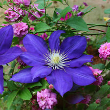 600PCS Clematis Seeds Blue Hybridas Hanging Flowers Potted Balcony Plants Flores