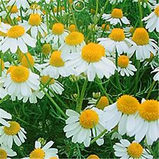 100Pcs chamomile seeds make your own tea herb flowers plant home garden seed