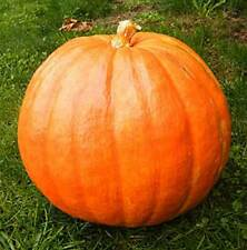 Pumpkin - Big Max - 10 Seeds - Curcurbita Pepo
