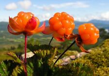 6 fresh seeds Rubus chamaemorus CLOUDBERRY Royal berry ~tested for germination~