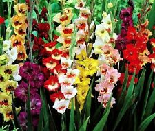 (10) Perennials Gladious Bulbs Low Growing Dwarf Border Mix New Flower Ready