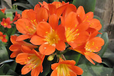 Clivia Flower Plant,Set of 1 Live Healthy Assorted Flower Plant