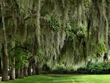 Live Spanish Moss- Florida- grow on your tree-craft