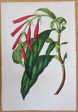 van Houtte: Garden Flowers Thyrsacanthus from Colombia - 1852#