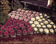 Flowering Cabbage Osaka Series Mix Annual Seeds