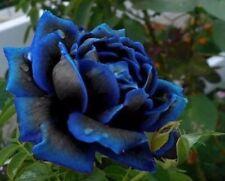USA-Seller Midnight Blue Rose Black and Blue Petals 100 Pcs seeds
