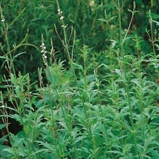 Herb Seeds - Vervain - 500 Seeds