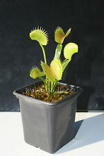 Venus Fly Trap Jaws Cultivar house plant catches insects. Dionaea muscipula.