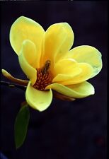Magnolia Acuminata - Yellow Flower - Rare Tropical Plant Tree Seeds (10)