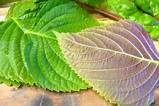 "1000 KOREAN PERILLA SEEDS,""Shiso"" (Perilla Frutescens) Korean specialty Herb !"