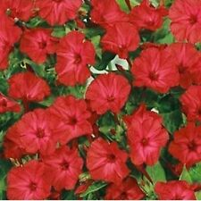RED MIRABILIS JALAPA 20 SEEDS LOVELY,  EASY TO GROW PERENNIAL BRIGHT RED BLOOMS