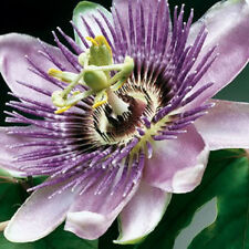 10 PURPLE GRANDILLA PASSION FLOWER Passiflora Seeds