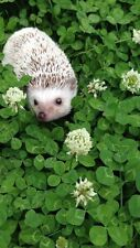 White Dutch Clover Grass Seed - Small Pet Treat - Easy to Grow!! - 1 lb. Seeds