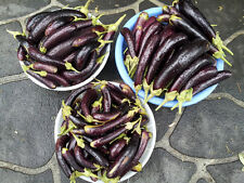 Little Finger Eggplant - 100 Seeds - An Extreme High-Yielding Eggplant Variety!